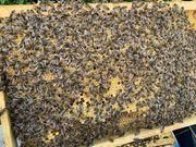 Bienen - Buckfast Bienenvölker auf Dadant