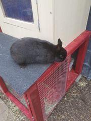 Kaninchen Weibchen