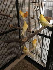 Kanarienvögel 6 Stück mit Zubehör