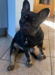 Französische Bulldogge sucht dringend liebevolles