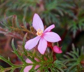 1 Steckling Ableger von Begonia: Kleinanzeigen aus Pfedelbach - Rubrik Reptilien, Terraristik