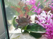 Axolotl männlich