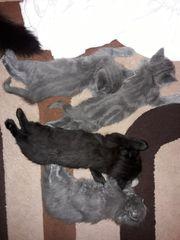 Kitten BKH Mix 5 Wochen