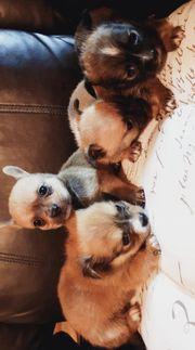 Super süße Chihuahua Mops Welpen
