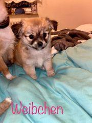 Süße Chihuahua Langhaar Welpen