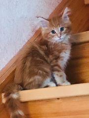 Maine Coon Katerchen Kater Kitten