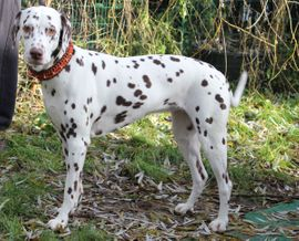 Hunde - Dalmatiner Welpen Hessen VDH