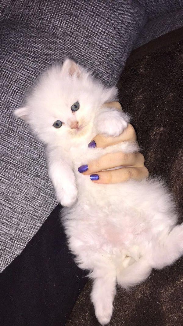 Wunderschöne weiße Katzenbabys - St Leon-rot St Leon - MischlingskatzeKatzenbabyIch bin ein weißes kleines Katzenbaby (Mädchen), bin am 10.02.18 geboren und suche ein schönes zuhause, ich spiele gerne bin flauschig und mag es in der Wärme zu sein. Ich kann am 8.04.18 abgeholt werden. - St Leon-rot St Leon