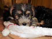 Yorkshire Terrier Welpen in liebevolle
