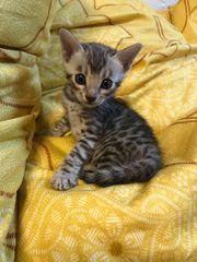 Bengal Kitten ab September Stammbaum