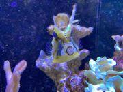 Meerwasser Kuhkopf-Kofferfisch