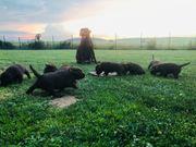Reinrassige Labrador Welpen - noch ein
