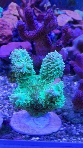 Meerwasser korallen und Zubehör: Kleinanzeigen aus Ötzingen Sainerholz - Rubrik Fische, Aquaristik