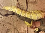 königspython ultramel 66 het pied