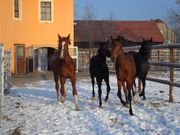 Stallhelfer Pferdewirt für Pferdegestüt in