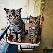 Bkh Kitten in Gold Tabby
