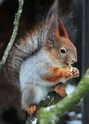Suche sibirisches Eichhörnchen