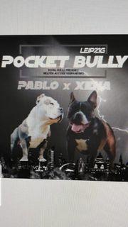 Wunderschöne American Pocket Bullywelpen suchen