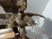 Tierpräparat Vogel Mäusebussard Bussard Tierpräparat