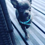 Chihuahua Deckrüde Mini in Blue