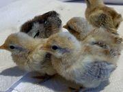 Holländische Zwerghühner Küken