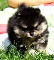 Zauberhafte Pomeranian Zwergspitz Hündin