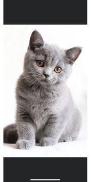 bhk Katze