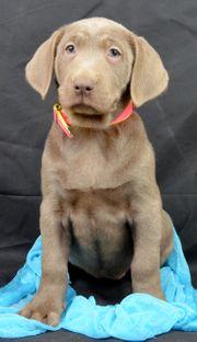 Süßes Labrador Mädel mit Papiere