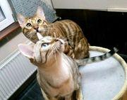 2 Bengal Katzen ca 3