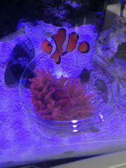 Koralle - Kupferanemone