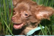 Verschmuste Chihuahua-Welpen suchen ganz tolles