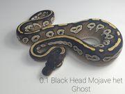 Königspython Black Head Mojave het