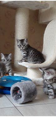 Bkh Kitten Black Silver Taddy