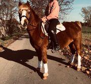 Reitbeteiligung für Pony gesucht
