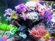 Korallen Ableger SPS LPs Zoas
