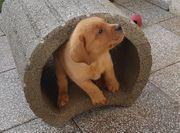 11 Wochen alter Labrador Rüde