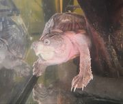 Dach-Moschusschildkröte - Sternotherus carinatus
