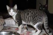 Kitten Kater 6 Mon