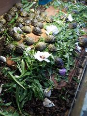 Verkauf Landschildkröten