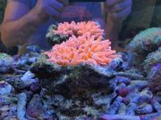 Meerwasser Anemonenhöhle mit Anemone