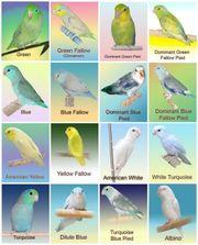 Suche ein Pärchen Sperlingspapageien