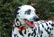 Marcos - Dalmatiner - 7 Jahre - Tierhilfe