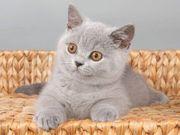 Suche Zwei Britisch Kurzhaar Kitten