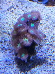 Meerwasser Blastomussa SPS LPS Korallen