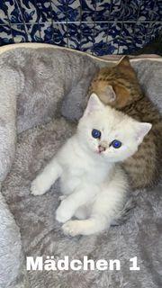 BKH Kitten Silver shaded