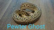 königspython pewter ghost 0 1