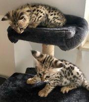 2 Savannah F2 Kitten Kater