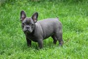 Französische Bulldoggen Hündin solide blue