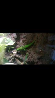 phelsuma grandis Männchen