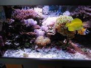 Wegen Aquarienaufgabe diverse Korallen und